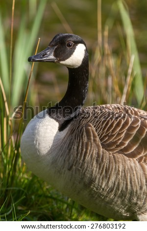 Vertical shot ad adult Canada Goose with natural background - stock photo