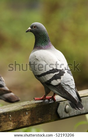 Vertical shot of a pigeon sat on a gate with muted colors in the background. - stock photo