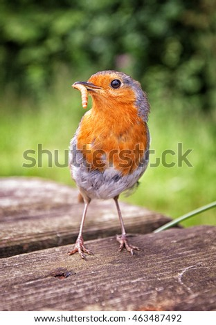 Vertical shot of a robin with a mealworm in his mouth.