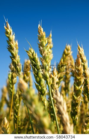 Vertical shot of a wheat field ripening, not quite ready for harvesting with golden yellow and still some green plants. - stock photo