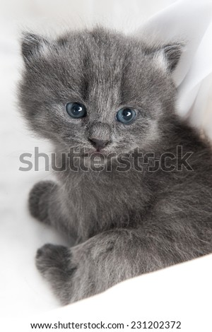 Vertical shot of an adorable grey kitten with blue eyes looking at the camera - stock photo