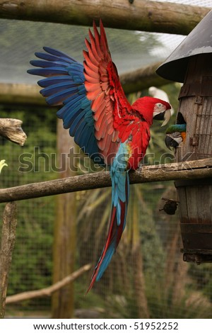 Vertical shot of Green Wing Macaw with wings out stretched. - stock photo