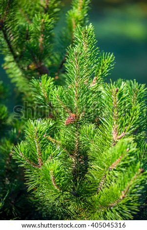 Vertical shot of pine branch with a young cone - stock photo