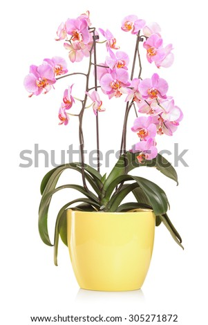 Vertical studio shot of orchid flowers in a yellow flowerpot isolated on white background - stock photo