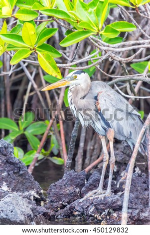Vertical view of a Great Blue Heron on Isabela Island in the Galapagos Islands in Ecuador - stock photo