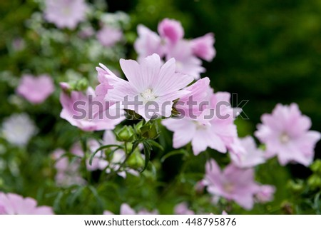 Vervain mallow (Malva alcea) in the wild - stock photo