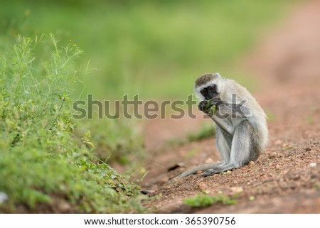 Vervet Monkey, Lake Mburo National Park, Uganda