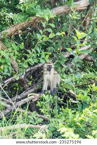 Vervet monkey sitting on a tree on the savanna in Africa.