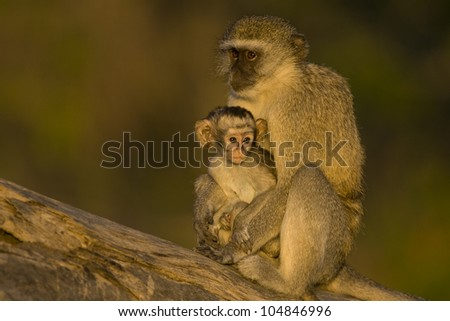 Vervet Monkeys family early morning