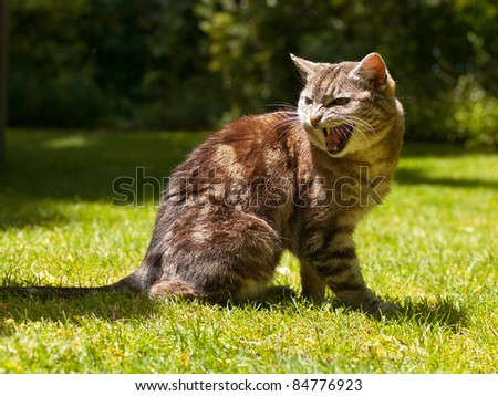 very aggressive yelling cat in a garden setting - stock photo