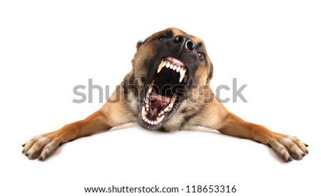 very angry purebred belgian shepherd malinois, focus on the eyes of dog. - stock photo