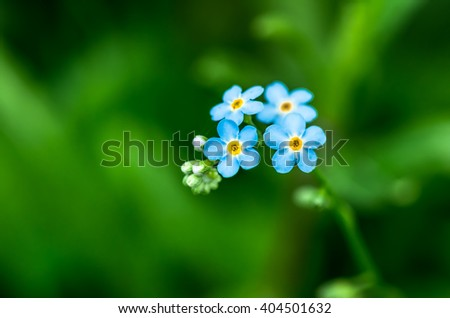 Very beautiful blue flower forget-me-growing in the field - stock photo