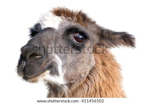 very Beautiful lama portrait on a white background - stock photo