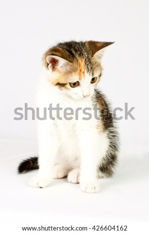 very beautiful little tricolor kitten looking down - stock photo
