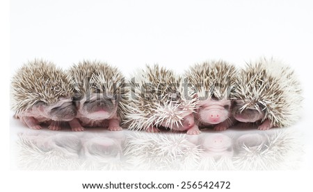 very beautiful young rodent group hedgehog - stock photo