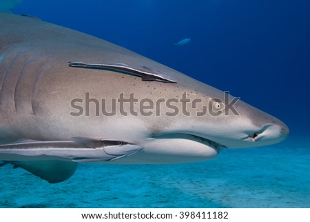Very close lemon shark head shot with remoras in clear blue water.