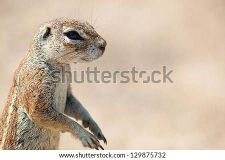 Very closeup of South African Ground Squirrel. Africa. Namibia. - stock photo