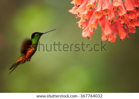 Very colorful hummingbird Golden-bellied Starfrontlet Coeligena bonapartei, hovering next to cluster of red flowers.Bright golden and green plumage, outstretched wings, abstract background. Colombia. - stock photo