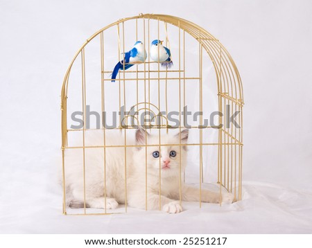 Very cute and pretty Ragdoll kitten on shiny white background fabric, with gold birdcage and two blue birds