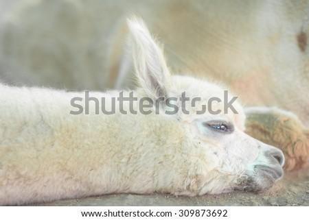 Very Cute baby alpaca to nap - stock photo