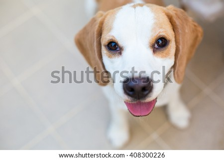 Very cute Beagle dog smiling portrait - close up