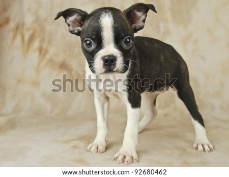 Very cute black and white Boston puppy with copy space. - stock photo