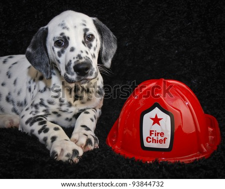 Very Cute Dalmatia puppy laying with a fire helmet on a black background. - stock photo