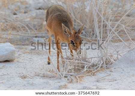 very cute dik dik at etosha - stock photo