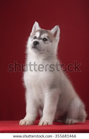 Very cute puppy Husky in the Studio with decorations and flowers. The photo for congratulation and celebration - stock photo