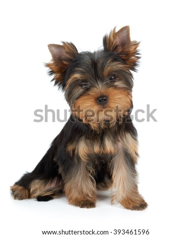 Very cute puppy of the Yorkshire Terrier on white - stock photo