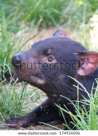 very cute tasmanian devil in tasmania australia - stock photo