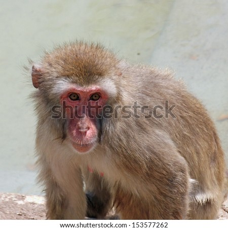 very deep and meaningful look of a macaque monkey - stock photo