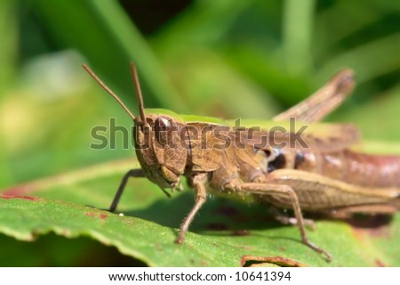 Very detailed close up of grasshopper - stock photo