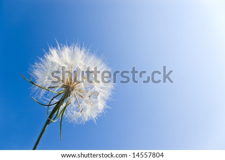 very detailed dandelion on clear blue sky