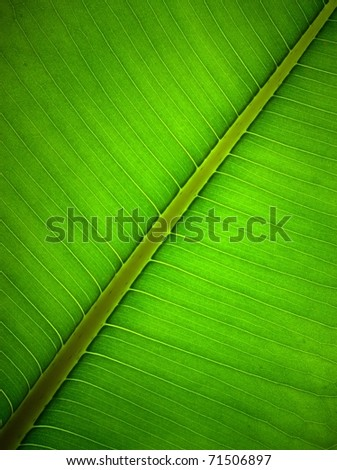 Very extreme close up of ficus green leave - stock photo