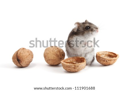 Very hungry hamster and walnuts
