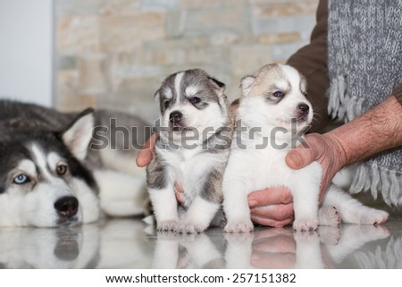 very little puppy Siberian husky playing with her mom - stock photo