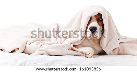 Very much sick dog under a blanket, isolated on  white  - stock photo