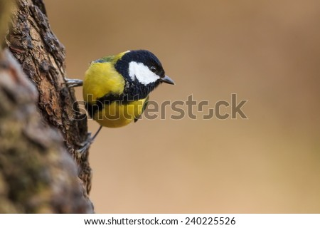 very nice great tit  - stock photo