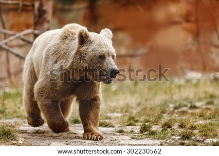 very nice Himalayan brown bear  - stock photo