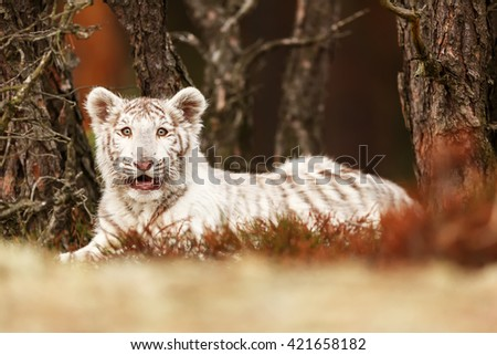 Very nice picture of a young white tiger resting after a full day of playing. For the tiger is a beautifully colored forest background. - stock photo