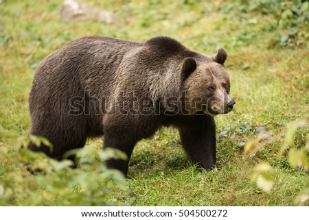 very nice portrait female brown bear in wild