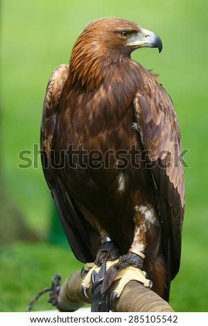 very nice portrait golden eagle  - stock photo