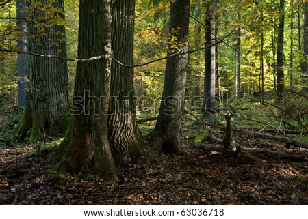 Very old oak and spruce trees standing in front of illuminated deciduous stand