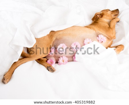 Very Pregnant Terrier Mix Dog Relaxing on White Sheets - stock photo