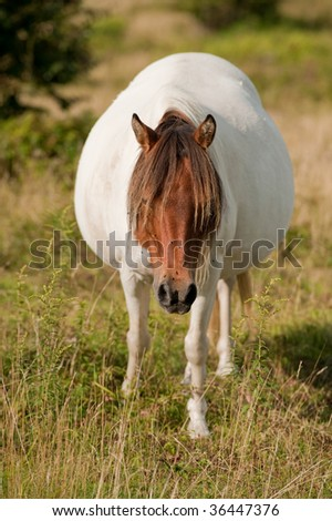 Very pregnant wild pony at Grayson Highlands State Park in Virginia - stock photo