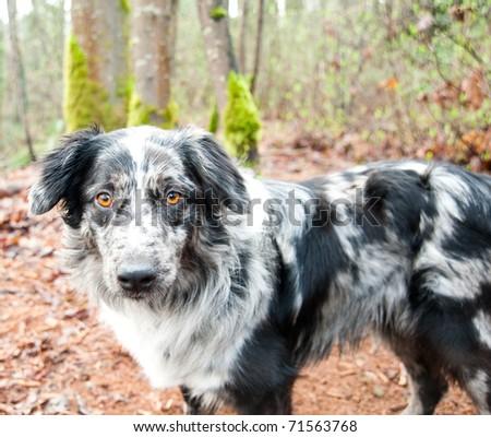 Very Pretty Blue Australian Shepherd in Park - stock photo