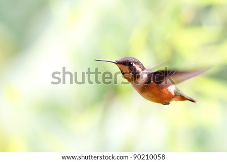 VERY RARE ALLEN'S HUMMINGBIRD, SELASPHORUS SASIN IN FLIGHT SHOOT IN THE ECUADORIAN HIGHLANDS (SMALL AMOUNT OF NOISE PRESENT AT FULL SIZE)  - stock photo