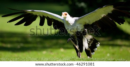 Very rare species of bird of prey - stock photo