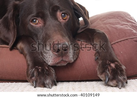 Very sad looking, very old Labrador retriever. Also available in vertical.